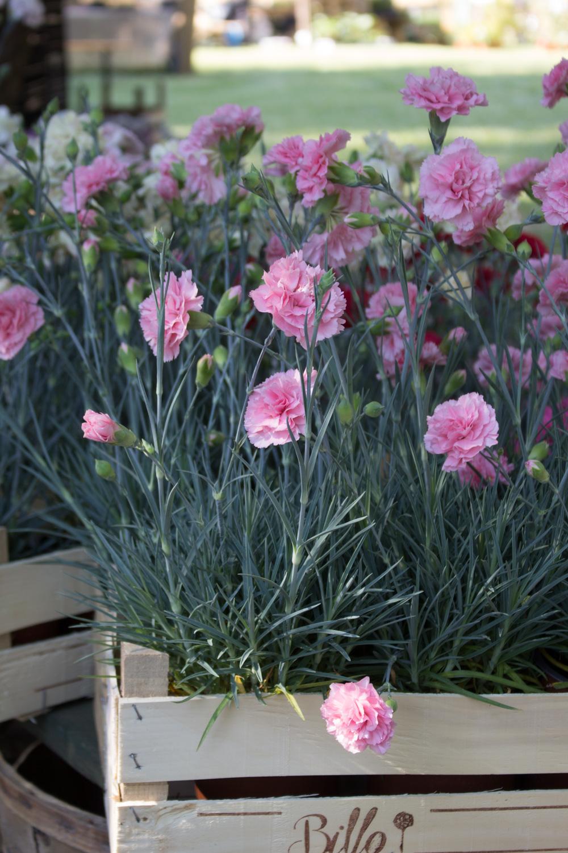 I garofanini di Billo a Floravilla 2017 - Lily&Sage Design