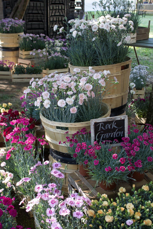 I garofani di Billo a Floravilla 2017 - Lily&Sage Design