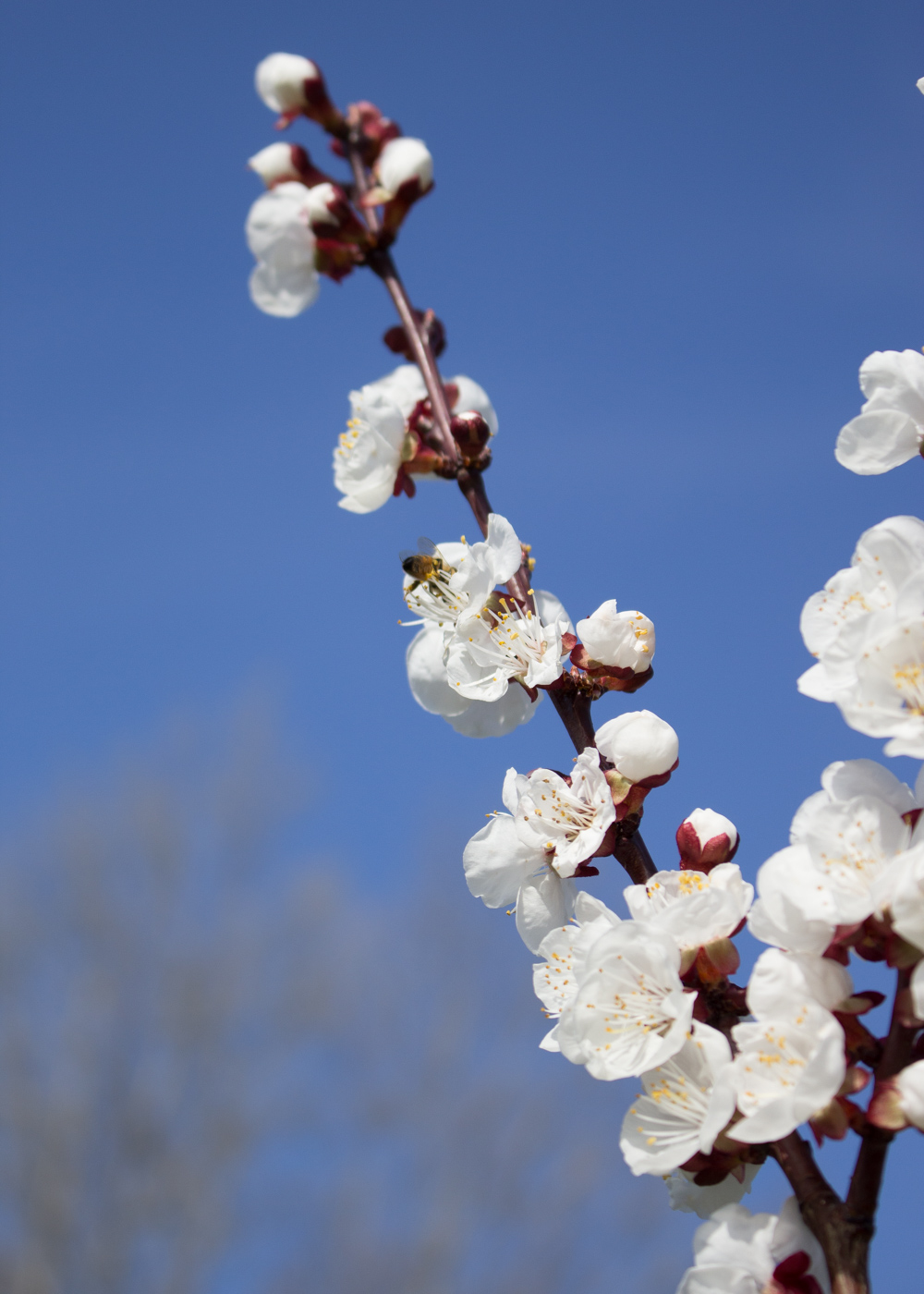 I fiori del ciliegio - Lily&Sage Design
