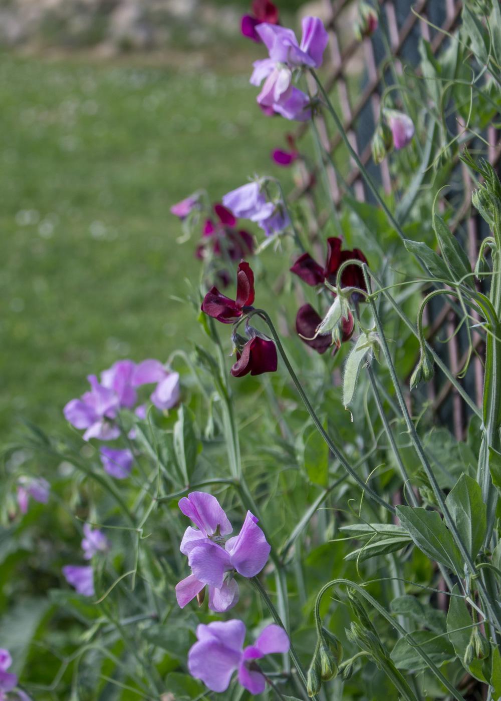 Pisello odoroso - Lily&Sage Design