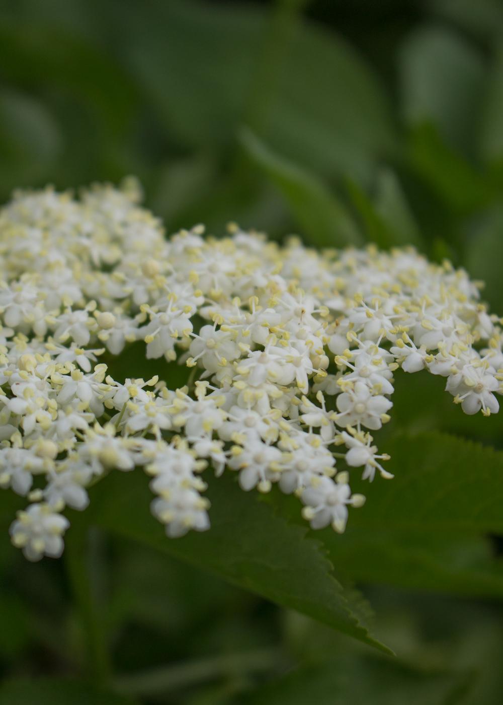 I fiori di sambuco - Lily&Sage Design