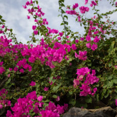 La bellezza dell'estate – Vacanze a Pantelleria – La Bougainvillea in fiore- Lily&Sage Design