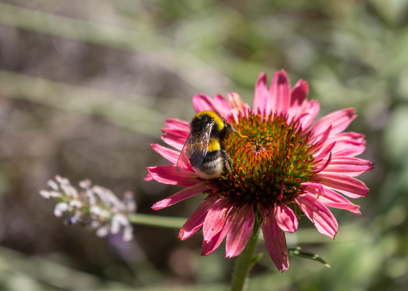 La bellezza dell'estate - Le api e un'echinacea in fiore - Lily&Sage Design