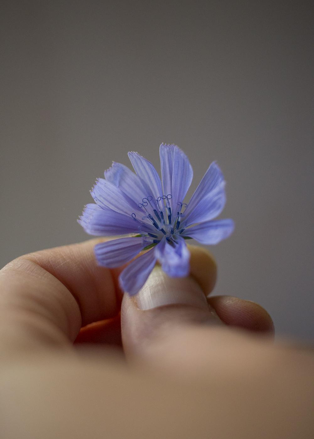 La bellezza dell'estate - I fiori della cicoria - Lily&Sage Design