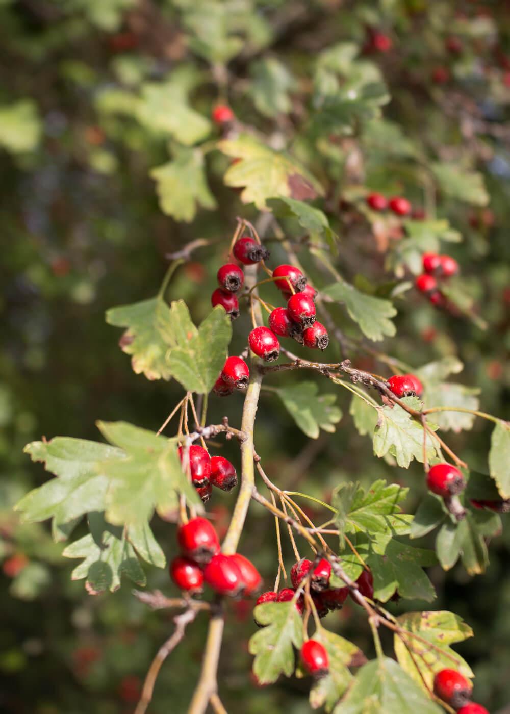 La bellezza dell'autunno - Le bacche di biancospino - Lily&Sage Design